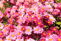 Bright pink flowers Royalty Free Stock Photo