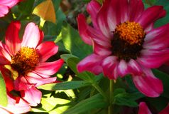 Bright pink flowers in summer. Bright pink and yellow flowers in shadows and sunlight Stock Photo
