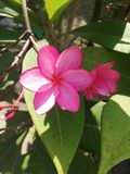 Bright pink Frangipani flower branch. Beautiful tropical and exotic flowers; blooming trees, red plumeria shrub in tropical garden, frangipani in bloom stock photo