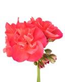 Bright pink geranium Stock Photos
