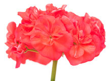 Bright pink geranium Stock Photo