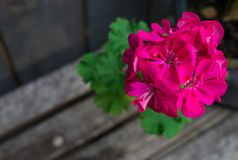 Bright pink geranium flower in the garden royalty free stock images