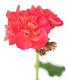 Bright pink geranium Royalty Free Stock Photo