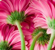 Bright pink gerber daisies Stock Images
