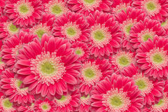 Bright Pink Gerber Daisies with Water Drops. Background Pattern Stock Images