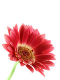 Bright pink gerber daisy isolated. Over white background Royalty Free Stock Image