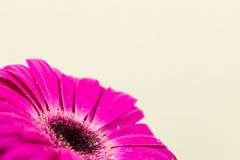 Bright pink gerber in macro Royalty Free Stock Photography