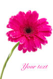The bright pink gerbera. On a white background Royalty Free Stock Images