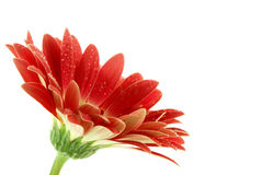 Bright pink gerbera daisy with dew over white Stock Photos