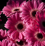 Bright Pink Gerbera Flowers stock photography