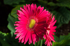 Bright pink gerbera. / Gerbera is a genus of ornamental plants from the sunflower family(Asteraceae Stock Photos