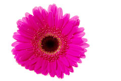 Bright pink gerbera isolated on white Stock Images