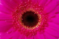 Bright pink gerbera macro close up Stock Images
