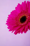 Bright pink gerbera on a purple background Royalty Free Stock Image