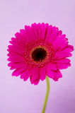 Bright pink gerbera on a purple background Royalty Free Stock Images
