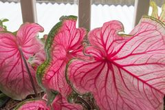 Bright pink and green leaves fill the frame. royalty free stock photos