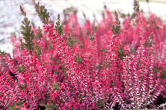 Bright Pink Heather Flowers royalty free stock photography