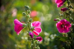 Bright pink hollyhock flower in garden. Mallow flowers. Shallow depth of field. Selective focus.  Stock Image