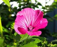 Hollyhocks flower. Bright pink Hollyhocks flower. The very best Royalty Free Stock Photo