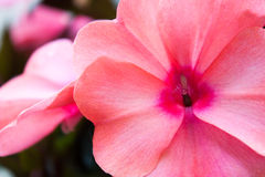 Bright pink Impatiens Royalty Free Stock Photography