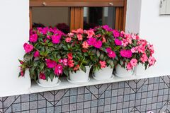 Bright pink impatiens hawkeri, the New Guinea impatiens, in flower pots. Bright pink impatiens hawkeri, the New Guinea impatiens, in white flower pots royalty free stock photo