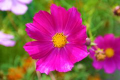 Bright pink kosmeya Royalty Free Stock Image
