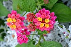 Bright pink  lantana camara flowers. Close up of bright pink lantana camara flowers Royalty Free Stock Image