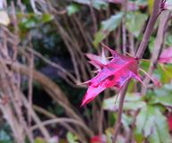 Sharp pink leaf with water drops royalty free stock image