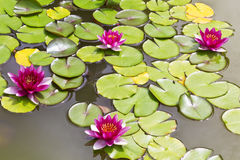 Bright pink lilies in a pond Stock Images