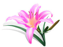 Bright pink lily vector illustration