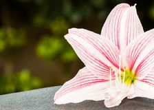 Bright pink lily. Close-up with green foliage at the background Stock Image