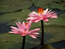 Bright Pink Lotus Flowers Stock Image