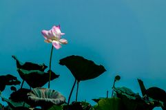 Pink lotus on long stem against blue sky royalty free stock photos