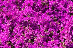 Bright pink magenta bougainvillea flowers as a floral background stock photo
