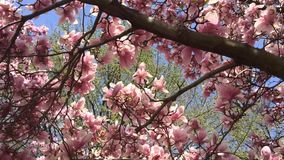 Bright pink magnolia tree against blue sky Royalty Free Stock Images