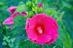 Bright pink mallow flower with green leaves in the garden. Bright pink hollyhock flower in the garden. Mallow flowers. Shallow depth of field. Selective focus royalty free stock images