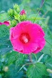 Bright pink mallow flower with green leaves in the garden. Bright pink hollyhock flower in the garden. Mallow flowers. Shallow depth of field. Selective focus on stock images