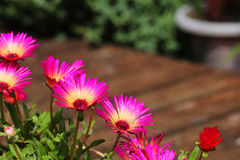 Bright pink mesembryanthemum flowers. Group of bright pink mesembryanthemum flowers royalty free stock photos