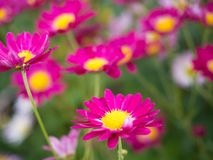 Bright Pink Mums flowers in bloom in the garden stock photography