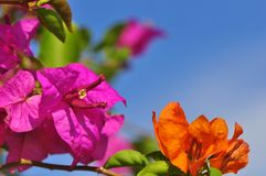 Bright Pink and Orange Bougainvillea against a blue sky with bokeh background. Bright pink bougainvillea at the botanical park in Putrajaya, Malaysia against a Royalty Free Stock Photos