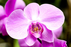 Bright pink orchid flower in the garden Stock Images