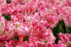 Bright pink parrot tulip flowers in park, garden.  royalty free stock photography