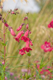 Bright   pink Penstemon Stock Photo