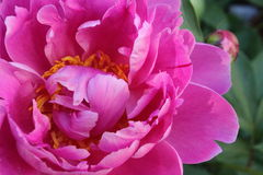 Bright pink peony Royalty Free Stock Photography
