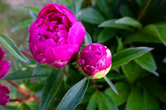 Bright Pink Peony Stock Images