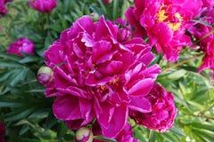 Bright Pink Peony Stock Photos