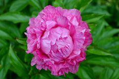 Bright pink peony flower Stock Images