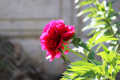 Bright pink peony grows near the house on a flower city garden in summer. Bright pink peony grows near the house on a flower city garden in summer Royalty Free Stock Photos