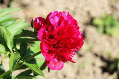 Bright pink peony grows near the house on a flower city garden in summer. Bright pink peony grows near the house on a flower city garden in summer Stock Photo