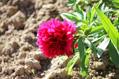 Bright pink peony grows near the house on a flower city garden in summer. Bright pink peony grows near the house on a flower city garden in summer Stock Images